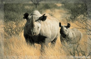 What is it about rhino horn
