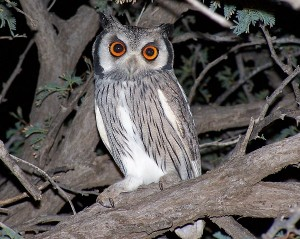 Whitefaced owl (small)